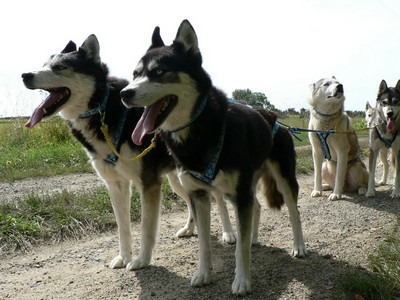 HUSKY DREAM, CHIENS DE TRAINEAU